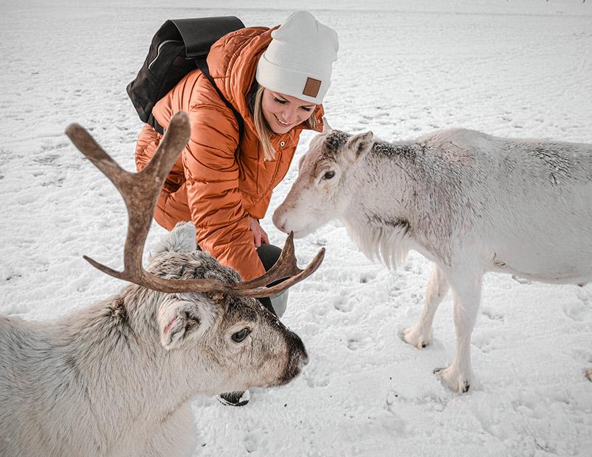 Rentiere füttern in Tromsø